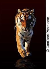 walking Tiger - Tiger walking black background