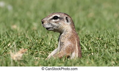 Alert ground squirrel (Xerus inaurus) observing his...
