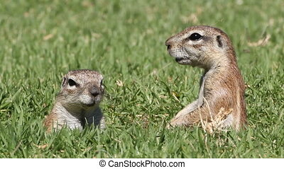 Alert ground squirrels - Two alert ground squirrels (Xerus...