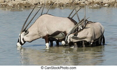 Gemsbok drinking water - Gemsbok antelopes Oryx gazella...