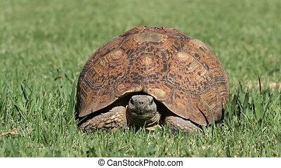 Leopard tortoise - Frontal view of a leopard tortoise...