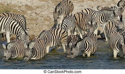 Plains Zebras drinking - Plains (Burchells) Zebras (Equus...