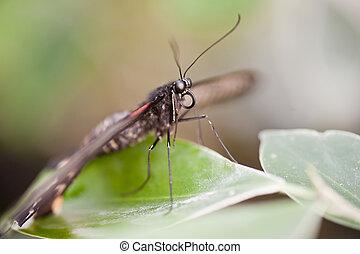 Mocker Swallowtail butterfly Papilio Dardanus