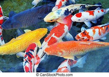 Carp - Several carp in a pond