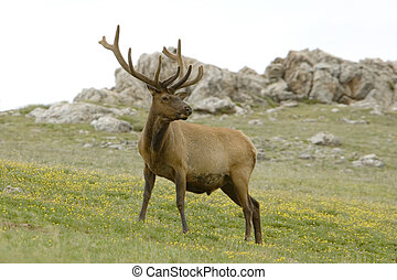 Bull Elk on Flowered Mountainside in Rocky Mountain National...