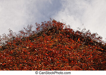 Japanese creeper, Woodbine, Boston Ivy, Ivy in Germany,...