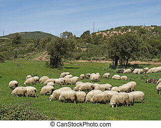 Flock of sheep, Sardinia, Italy - Flock of sheep near...