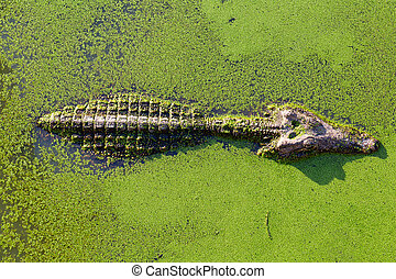 young alligator in Thailand wetland pond with duckweed and copy space. View from above.