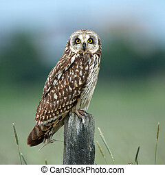 Short-eared owl (Asio flammeus) - The short-eared owl (Asio...
