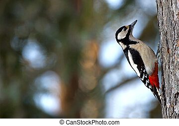 The Great Spotted Woodpecker (Dendrocopos major) - The...