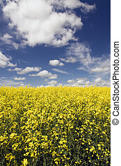 Canola Field - Field of Canola with instense blue sky with...