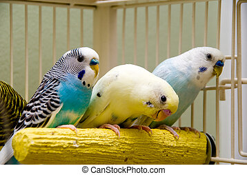 Parakeets - A pair of colorful and exotic tropical...