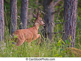 Roebuck - The roebuck watching before leaving the woods in...