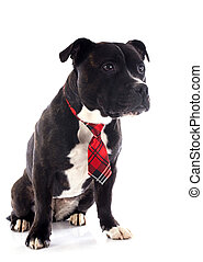 staffordshire bull terrier with tie - portrait of a...