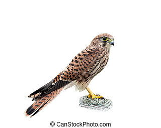 Kestrel (Falco tinnunculus), isolated - The young kestrel,...