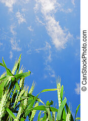 Wheat with blue sky background