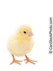 Baby Chick - A newborn baby chick on white background.