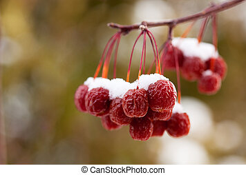 Snow Covered Crab Apples - A cluster of dried up crab apples...