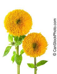 Sunflowers, helianthus annuus, on a white background