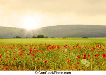 Poppy meadow - Field of poppies with mountains at background