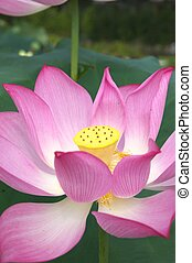 large pink lotus - this photo is taken in Kyoto flower park