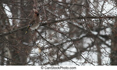 Waxwing Bombycilla garrulus on a wild apple