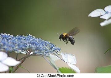 bee on blue hydrangea - this photo is taken in Tsurumai park...