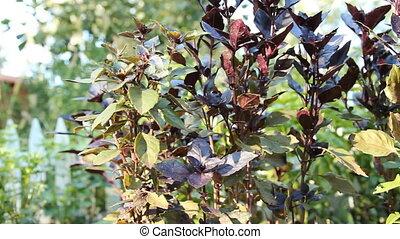 Purple basil cimum