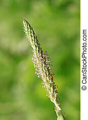 plantago inflorescence on a green background, can be used as...