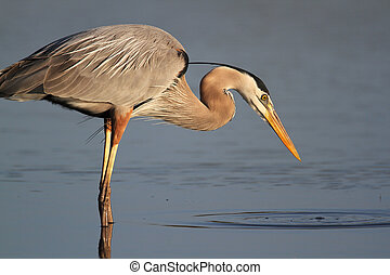 Great Blue Heron Stalking its Prey - Great Blue Heron (Ardea...