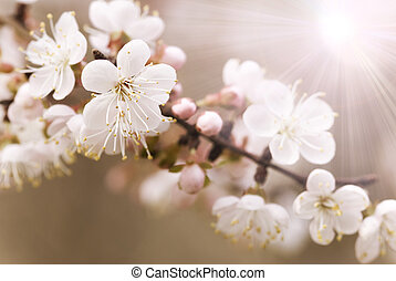 Japanese cherry tree - special photo toned and light with...