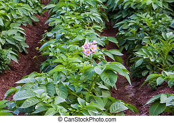Potato field - Rows of recently sprouted potatoes growing in...