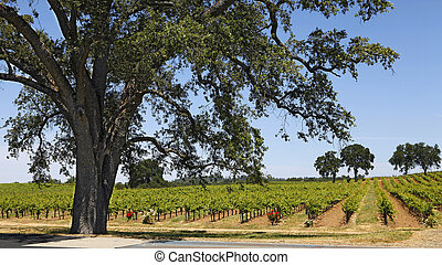 California Vineyard and Oak - A vineyard in California's...