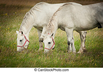Two horses grazing in field - Two horses grazing in a field