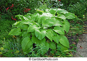 Green hosta Guacomole plant in garden at summer