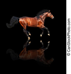 galloping bay sportive breed  horse isolated on black background with reflection