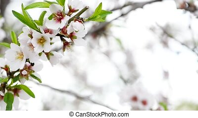 Beautiful almond branch on a white background
