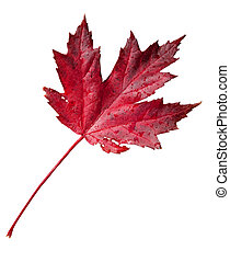Fall Leaf with clipping path - Colorful fall leaf with...