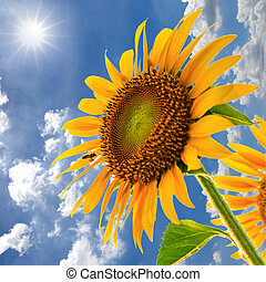Sunflower field against blue sky and sun light with bee