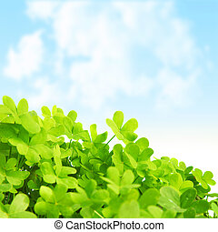 Green fresh clover field - Picture of green clover field,...
