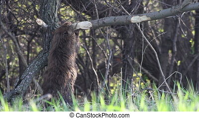 Beaver Eating Montage - A montage of 4 different shots of a...