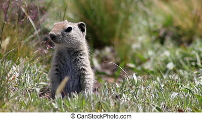 Alert Prairie Dog - A prairie dog leaves his hole and has a...