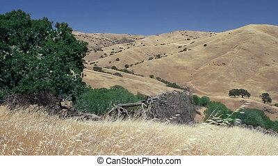 California Hills Landscape - Large oak tree, golden brown...