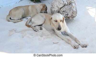 Beach dogs. - Beach dogs lying in the sand. Tulum, Mexico.