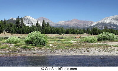 Deer in Yosemite 1 - A deer grazing by a river with...
