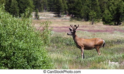 Deer in Yosemite 2 - A buck spots other deer across Tuolumne...