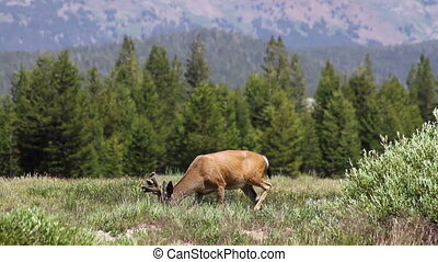 Deer in Yosemite 3 - A buck grazing in Tuolumne Meadows in...
