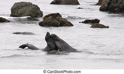 Elephant Seals in the Water - 2 elephant seals having a...