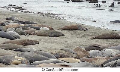 Elephant Seals on the Beach - An elephant seal colony on a...