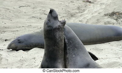 Elephant Seals Roughhousing - 2 young elephant seals and...